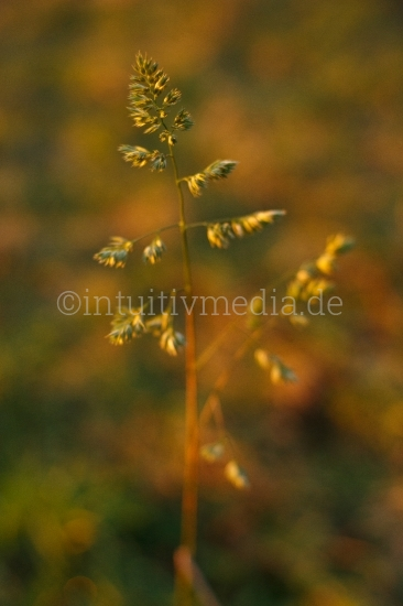 Gras im Abendlicht