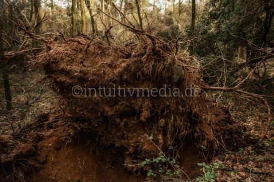 Entwurzelter Baum - Wurzeln