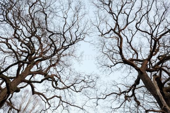 Zwei Baumkronen im Winter