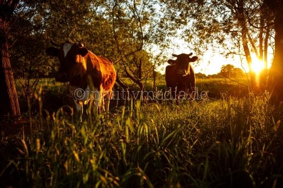 Kühe im Grünen mit Bokeh