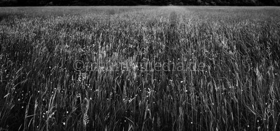 Feld mit Gräser