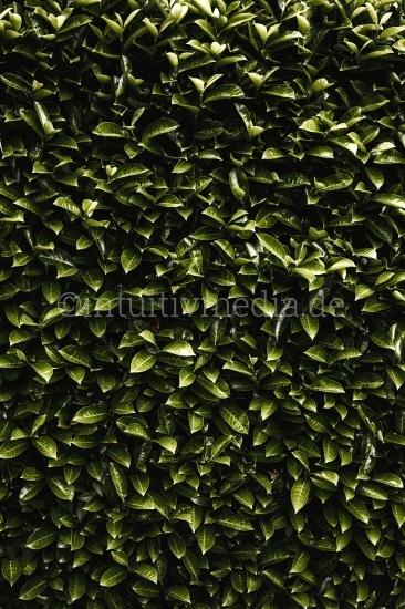 Grüne Hecke mit grünen Blättern