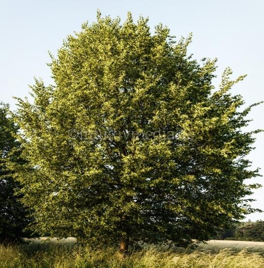 Linde Wald & Bäume
