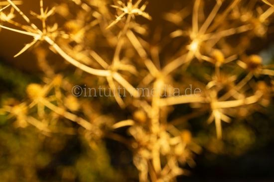 Goldene Distel