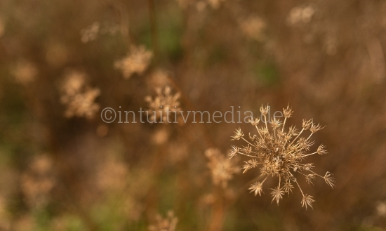 Braune Trockene Blüten