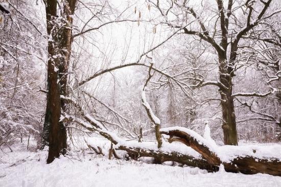 Winter Landschaft - Alte Eichen