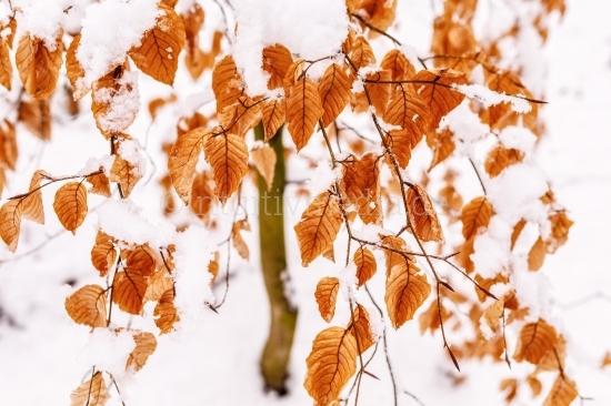 Winter Landschaft - Buchen Laub