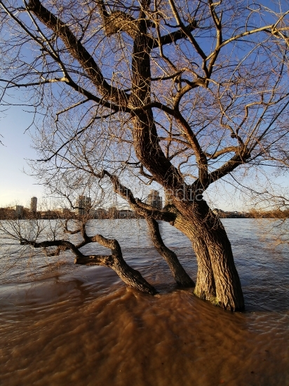 Hochwasser Baum im Rhein